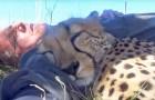 Un fotografo si sdraia sotto un albero in un santuario per felini ed un ghepardo si accuccia vicino a lui