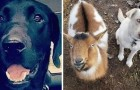 A Labrador runs away for an entire night and returns home with two new friends: a dog and a goat