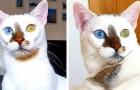 Bowie, le merveilleux chaton aux yeux différents qui est devenu une star du web
