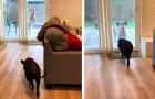 Elke maandag ontmoeten deze hond en zijn vriend het varken elkaar en hebben plezier alsof het de eerste keer was