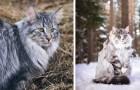 Die Norwegische Waldkatze, die seit der Zeit der Wikinger geliebte Katze mit magnetischem Charme
