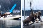 Un video riprende la curiosa scena di due giganteschi leoni marini che si riposano a bordo di una barca