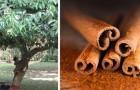 Hoe kaneel thuis te kweken en deze geurige kruiden altijd bij de hand te hebben