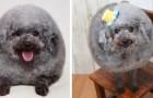 Leva o cachorro para tosar: quando o vê começa a rir por causa do seu novo penteado