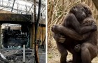 Addio a Massa: il gorilla che doveva