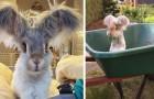 Il coniglio più fotogenico del web, che con le sue grandi e morbide orecchie ha conquistato la simpatia di tutti