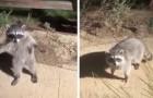 Deux ratons laveurs font semblant d'être des statues quand ils sont pris en flagrant délit par le propriétaire de la maison