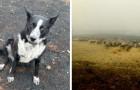Dieser tapfere Border Collie hat seine Schafherde vor einem gefährlichen Feuer in Australien gerettet