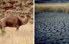 10.000 Kamele werden in Australien abgeschossen, um zu verhindern, dass sie in dürregefährdeten Gebieten zu viel Wasser trinken