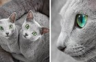 Queste 2 gattine di razza Blu di Russia incantano tutti con i loro occhi verdi e il pelo argentato