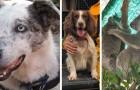 Bear y Taylor, los perros valientes que olfatean los koala y los salvan de los desvastadores incendios australianos