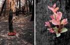 Trotz der verheerenden Brände weigern sich Australiens Wälder zu sterben und die ersten Sprösslinge treten hervor