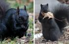Les écureuils noirs : une mutation rare et fascinante née du croisement de deux espèces différentes