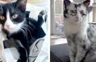 Deze lieve kat lijdt aan vitiligo: de voor- en nafoto's van zijn zeldzame transformatie