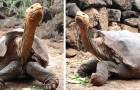 Diego: de reuzenschildpad die vader is van ongeveer 800 jongen, die zijn soort heeft gered