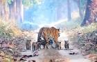Een man slaagt erin een mooie tijger te vereeuwigen die met zijn 5 welpen in het bos loopt