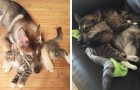 This female Husky puppy was taken to an animal refuge center to find a friend and she chose a female kitten