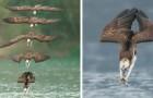 Ein Fotograf hat es geschafft, den Flug des Fischadlers einzufangen, wie er sich auf seine Beute wirft...
