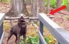 Dieser Hund musste lange überlegen, wie er eine Brücke überqueren könnte, wenn er einen riesigen Ast zwischen die Zähne hält