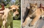 É um cruzamento de leão e tigre: este