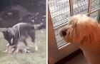 Questa cagnolina guarda impotente un coyote che in giardino si diverte con i suoi giocattoli