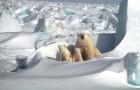 Die Eisbärenpopulation in der Arktis könnte nach Ansicht von Experten wachsen