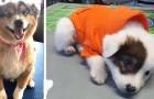 18 adorables photos de bergers australiens : des chiens intelligents, affectueux et