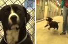 Ce chien explose de joie au moment où il réalise qu'il vient d'être adopté
