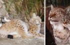 L'improbabile amicizia tra un gatto randagio e una lince: felini inseparabili allo zoo di San Pietroburgo