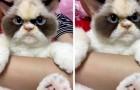 Questo simpatico gatto imbronciato vive in Taiwan e sembra l'erede perfetto del famoso