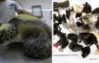 Una tartaruga salvata in mare ha continuato ad espellere plastica per settimane