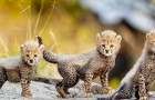 Questa adorabile cucciolata di ghepardi dà nuova speranza alla sopravvivenza della specie seriamente minacciata