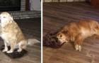 La maîtresse achète par erreur une couchette en taille mini pour son chien : il fait semblant qu'elle est bien pour ne pas la décevoir