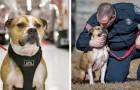 Het verhaal van Hansel, de eerste pitbull die is getraind om te