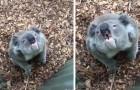 Il verso del koala è un suono dalle frequenze inaspettatamente basse: la scienza ne spiega le origini