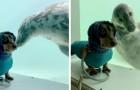 Het baasje van deze teckel heeft de onwaarschijnlijke ontmoeting tussen haar hond een vriendelijke zeehond vereeuwigd
