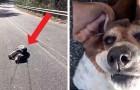 Questa cagnolina in sovrappeso si lascia cadere mentre passeggia e non si muove finché non viene coccolata