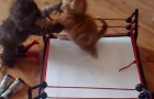 WWE smackdown...kittens!