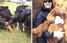 Diese 13 Bilder zeigen, dass Kühe genauso liebenswert und süß sein können wie Hunde