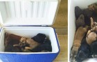 A woman finds a refrigerator by the roadside: inside she discovers 9 puppies abandoned in the sun