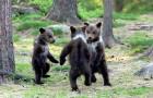 Dieser Fotograf hat es geschafft, drei Bärenjungen einzufangen, die sich scheinbar im Kreis drehen