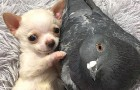 A disabled pup and a pigeon that doesn't know how to fly form an unlikely but wonderful friendship at the animal shelter where they reside