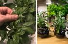 Le 6 piante aromatiche che puoi far crescere in acqua tutto l'anno sul davanzale della tua cucina