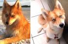Mya, de onweerstaanbare hond die op een vos lijkt en de blik van een Husky heeft