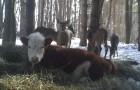 Een koe ontsnapt uit de boerderij: na een paar maanden vinden ze haar samen met een familie van wilde herten