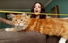 World record holding Maine Coon specimen Omar measures 120 cm