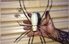 Un homme a trouvé une araignée de la taille de sa main devant la porte de son garage
