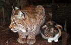 Un chat se faufile dans un zoo et devient le meilleur ami d'un lynx boréal