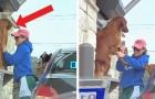 Un cane impaziente non riesce a resistere e salta fuori dall'auto mentre è in fila al take-away di una caffetteria