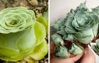 Es gibt eine Art Fettpflanze, deren Form der einer frisch erblühten Rose ähnelt...